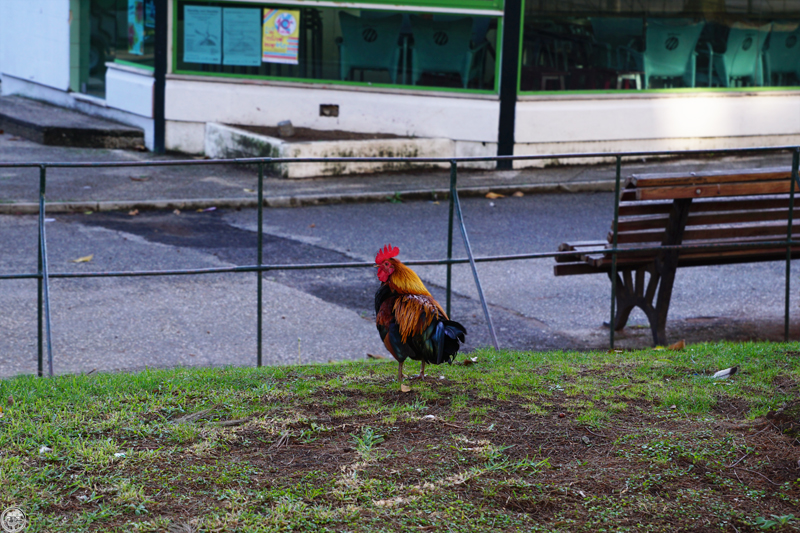 Rooster of Barcelos, Lisbon