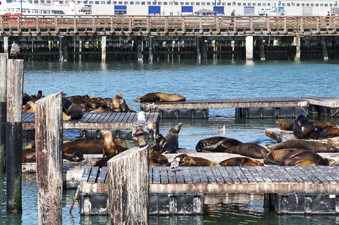 California sea lions, San Francisco