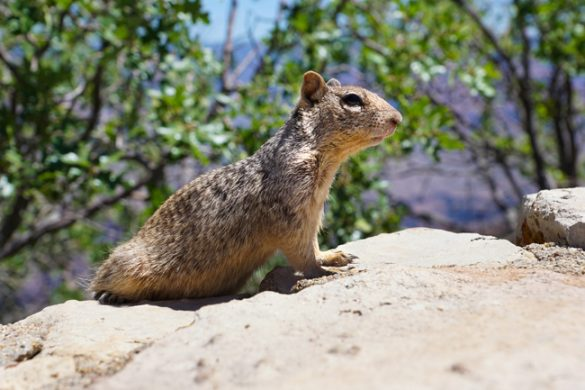 Grand Canyon, Ground Squirrel