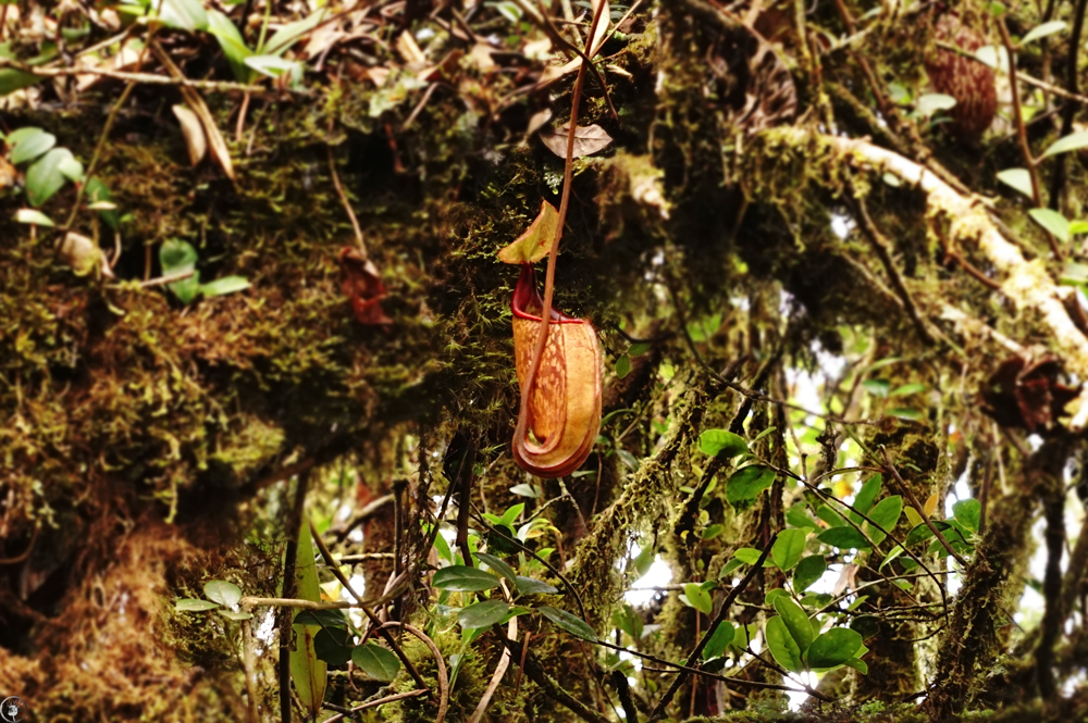 Pitcher Plant, Cameron Highlands