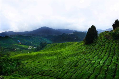 A Quick Guide to the Cameron Highlands ~ Malaysia