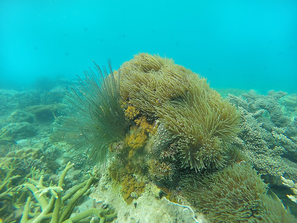 Anemone, coral reef, Perhentian Island