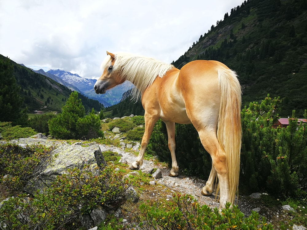 Beautiful Horse Zillertal