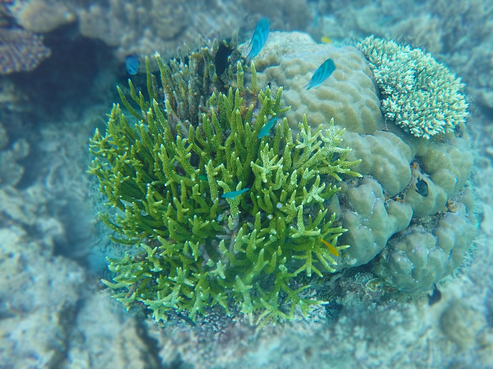 Fire Corals, Perhentian Islands