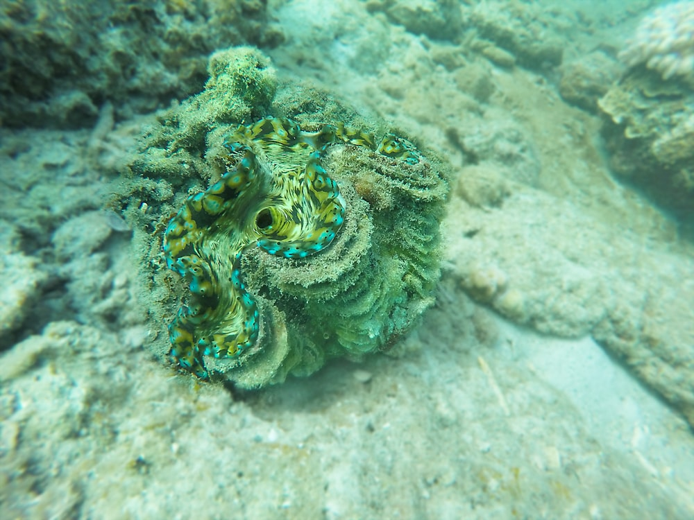Giant Pearl Clam, Perhentian Islands