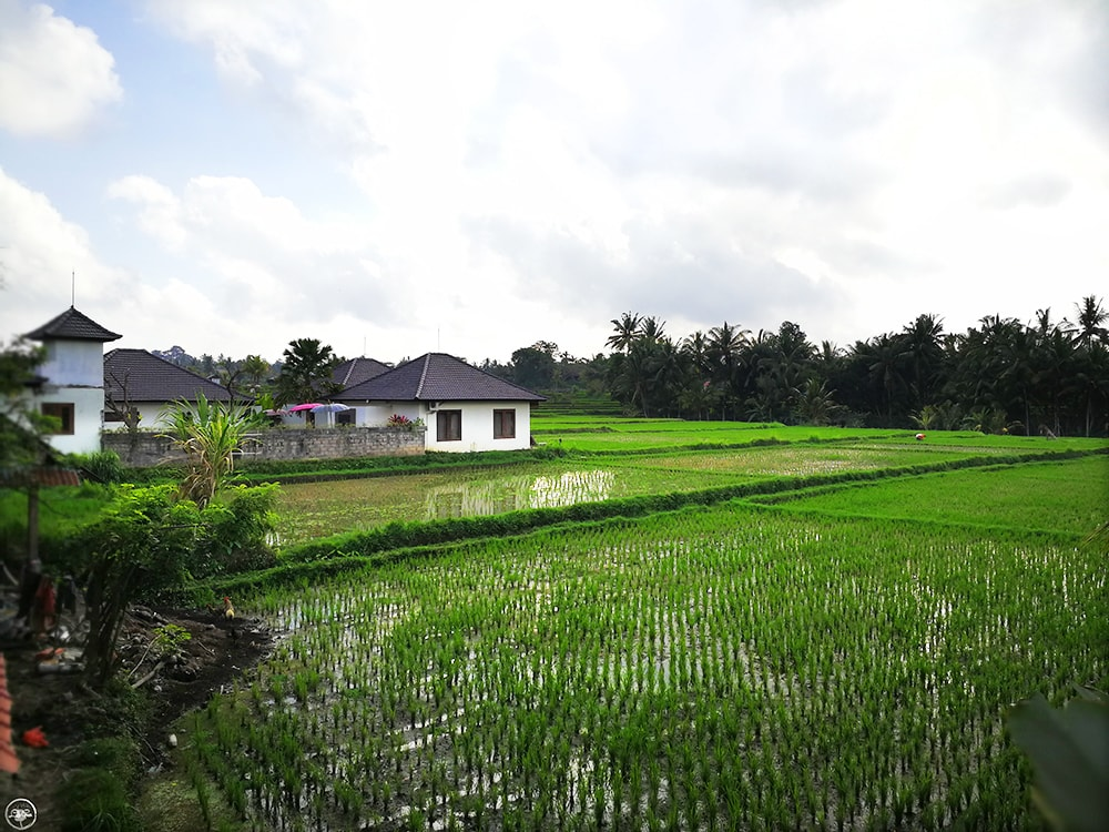 Rice Fields of Ubud, behind Masia Villa