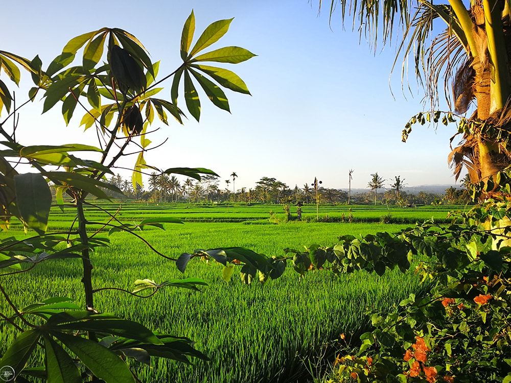 The Rice Fields, Ubud