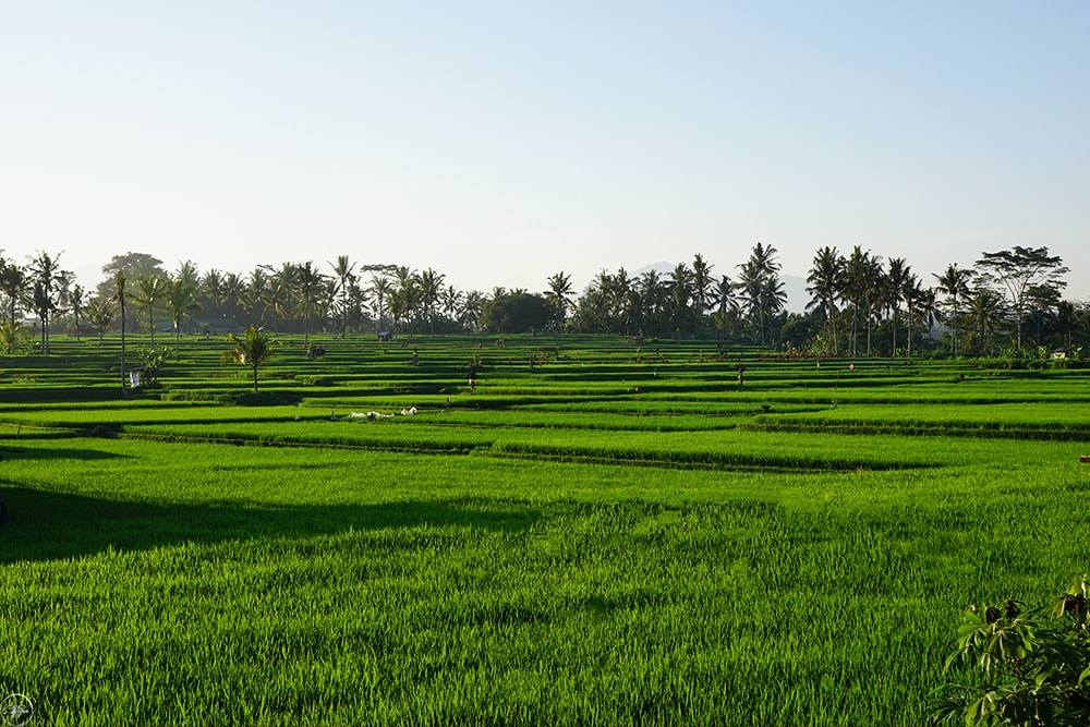 The Rice Fields of Ubud