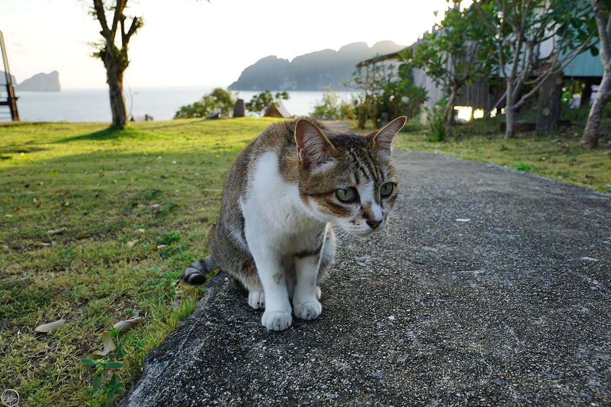 The Cats of Phi Phi Islands