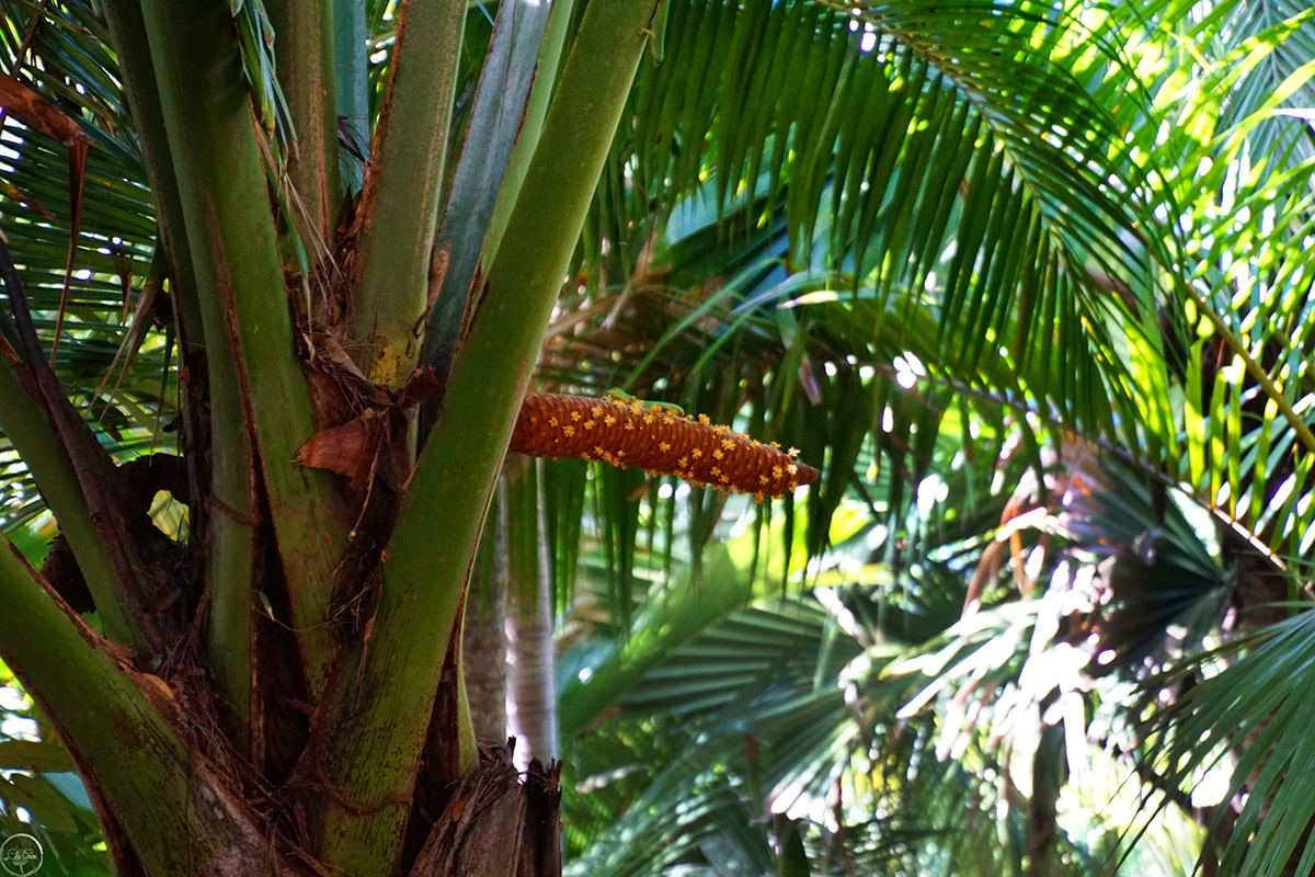The male flower of the Coco de Mer