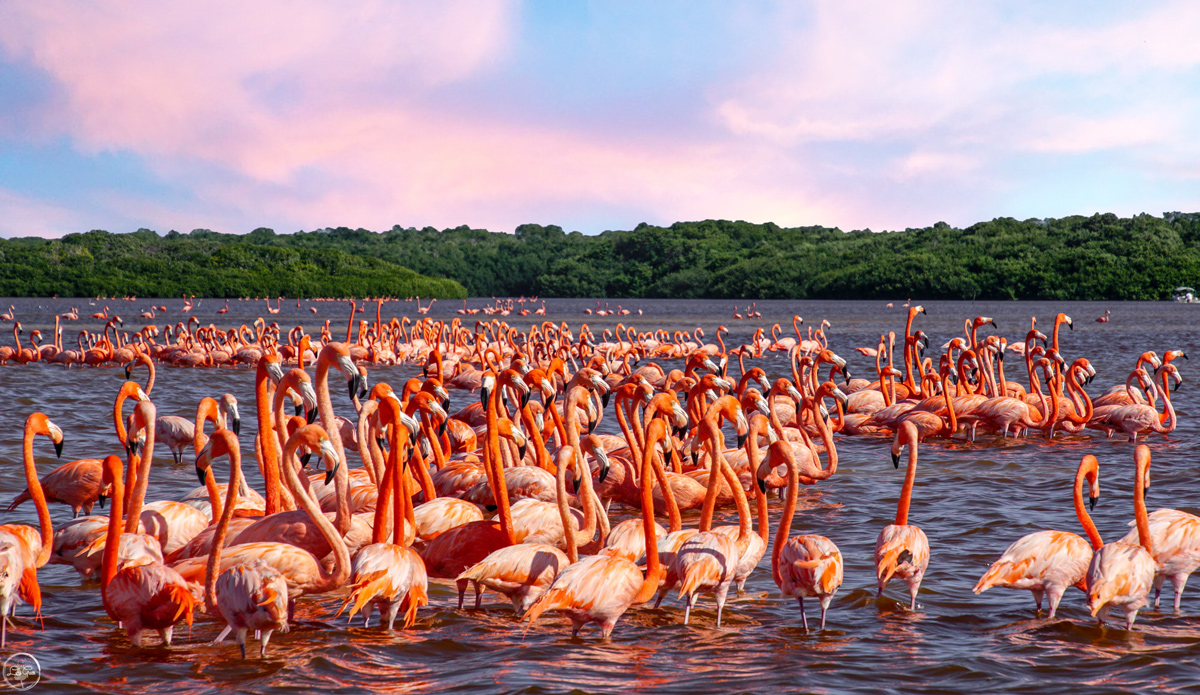 See Thousands of Flamingos in Celestun Mexico